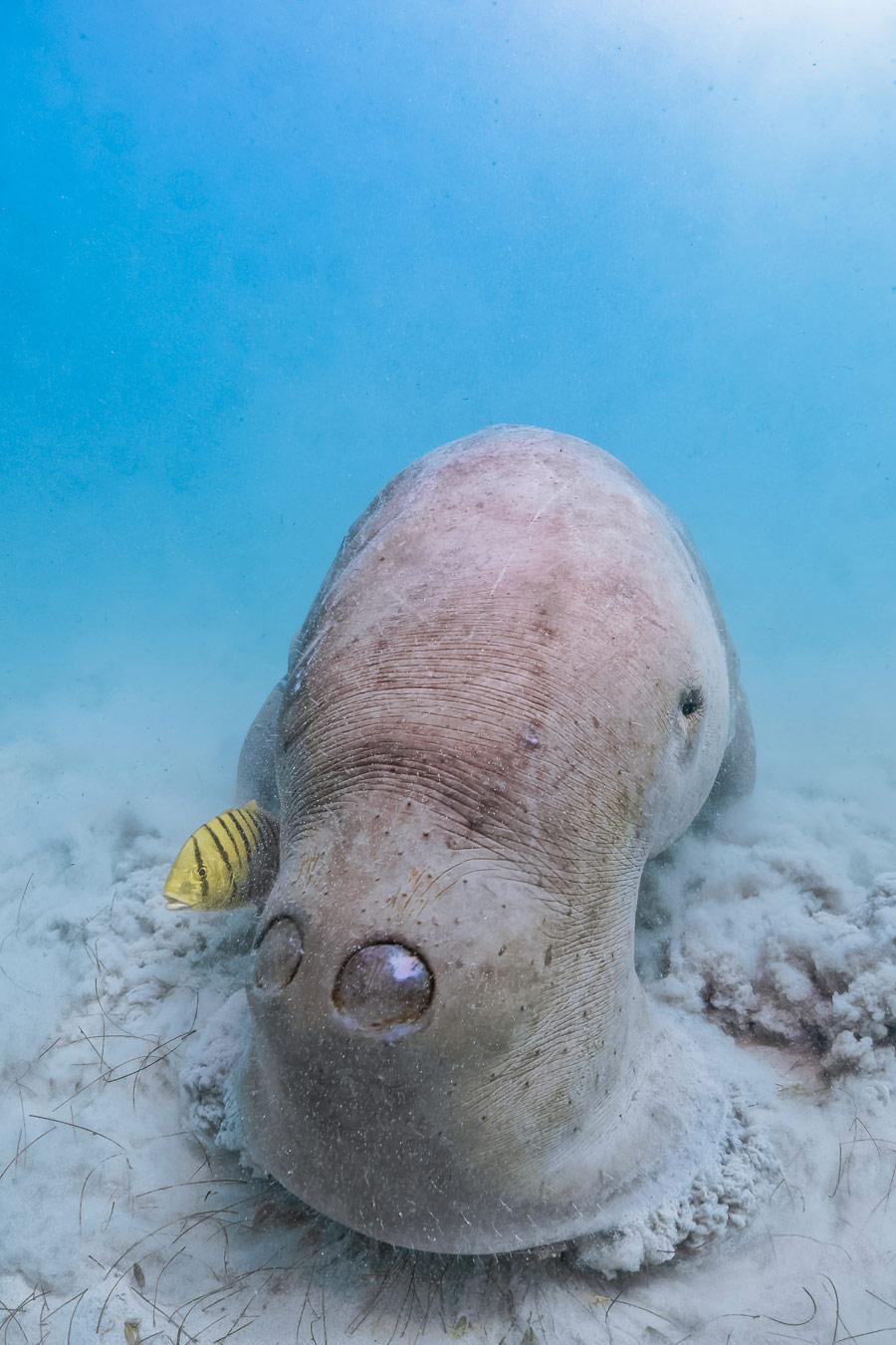 Кормёжка дюгоня на морской траве. Корон, Филиппины, © Джим Чен, Таоюань, Тайвань, Высокая оценка в категории «Океан», Фотоконкурс «Лучшая природная фотография Азии»