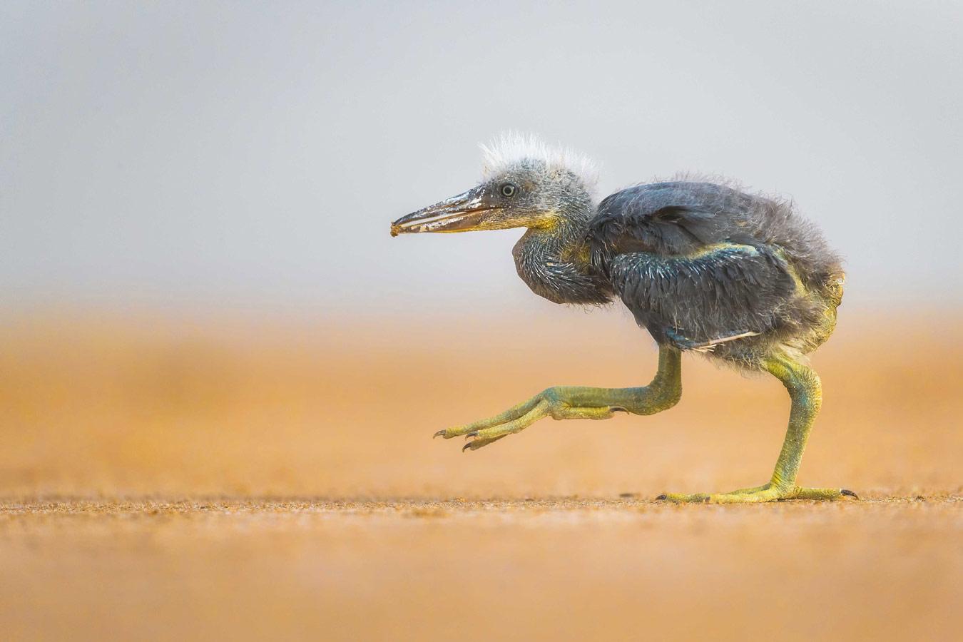 Втихомолку. Остров Бубиян, Кувейт, © Фейсал Аль-Номас, город Кувейт, Кувейт, Победитель категории «Птицы», Фотоконкурс «Лучшая природная фотография Азии»
