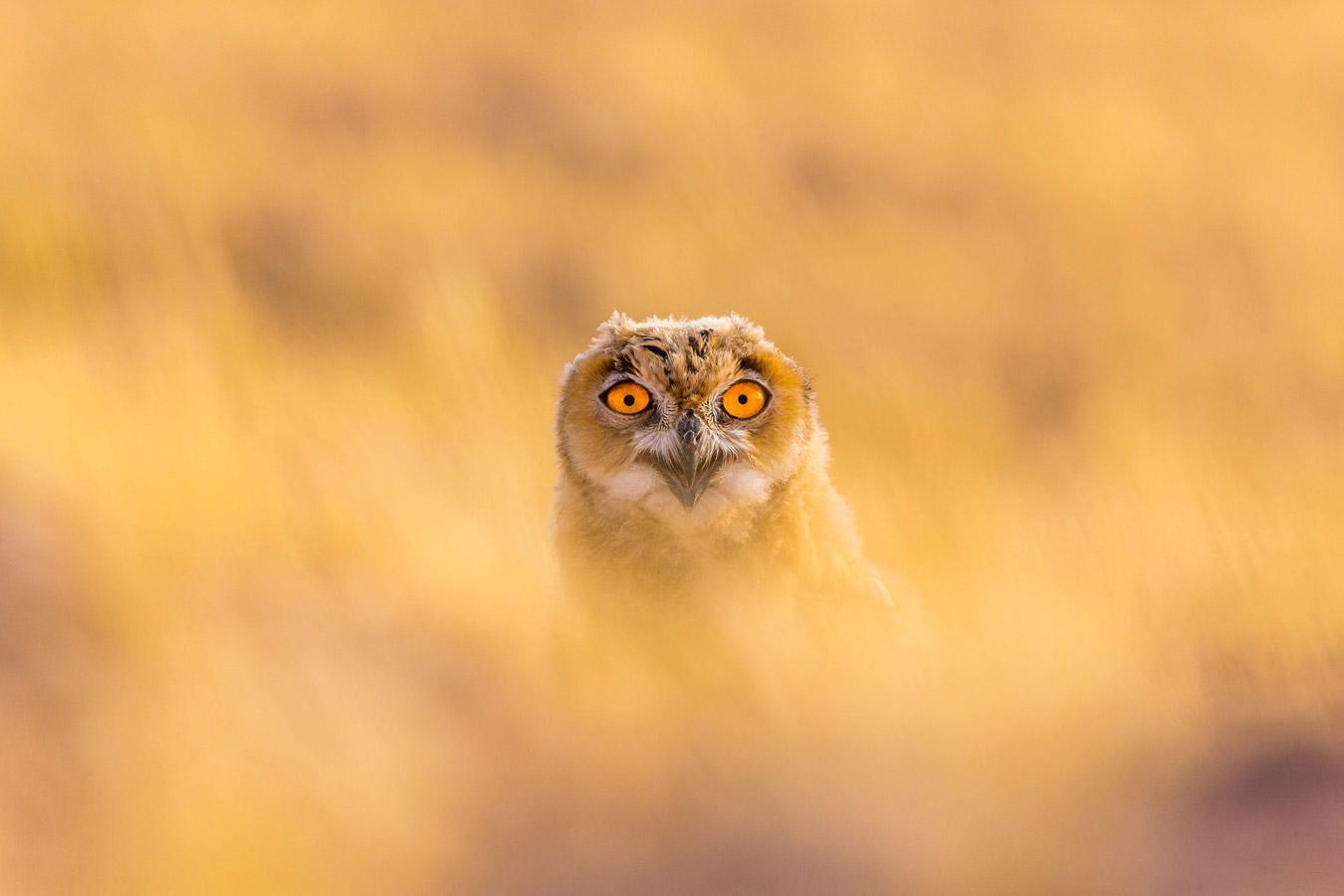 Внутри огня. Кувейт, © Мухаммед Мурад, Кувейт, Высокая оценка в категории «Птицы», Фотоконкурс «Лучшая природная фотография Азии»