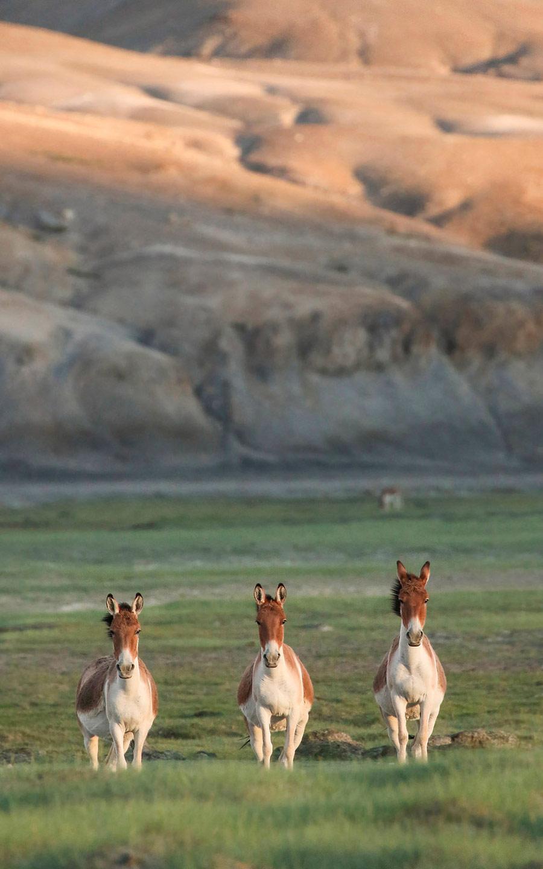 Тибетские дикие ослы. Ханле, Ладакх, Индия, © Дхирадж Нанда, Бангалор, Индия, Высокая оценка в категории «Юный фотограф», Фотоконкурс «Лучшая природная фотография Азии»
