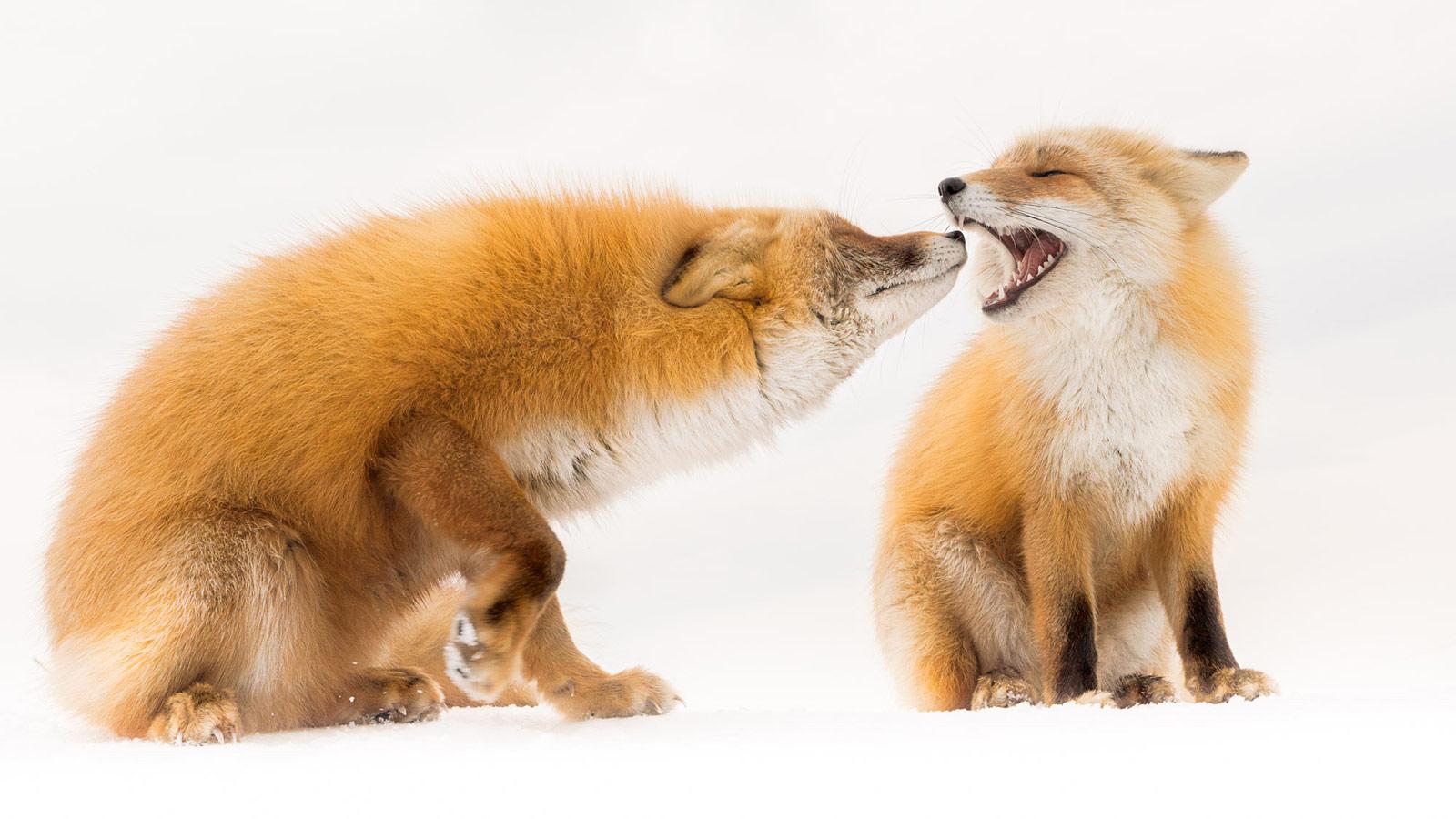 Хороший друг. Хоккайдо, Япония, © Ёсихиро Абико, Хоккайдо, Япония, Высокая оценка в категории «Дикая природа», Фотоконкурс «Лучшая природная фотография Азии»