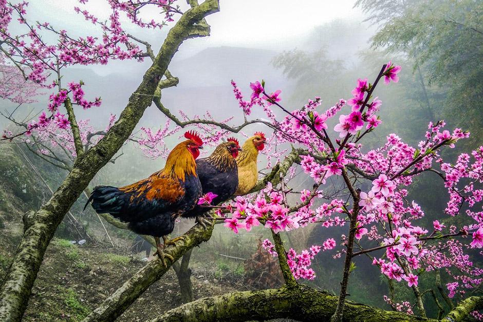 Петухи на дереве, © Хуан СанДин, 3-я премия, Фотоконкурс Nikon