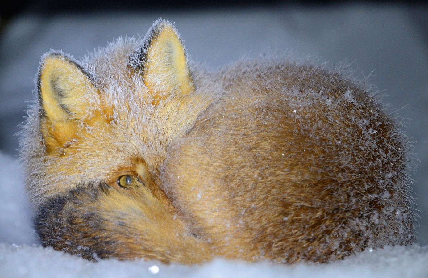 Сонный лис, © Алексей Маслов, Гран-при - Любители, Фотоконкурс Nikon «Я в сердце изображения»
