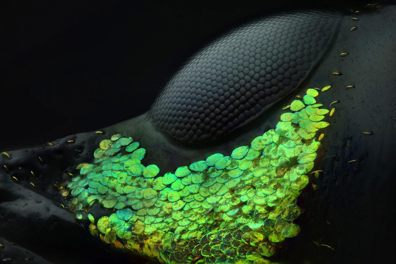 Глаз жука Metapocyrtus subquadrulifer, © Юсеф Аль-Хабши, Абу-Даби, Объединенные Арабские Эмираты, 1 место, Фотоконкурс Nikon Small World