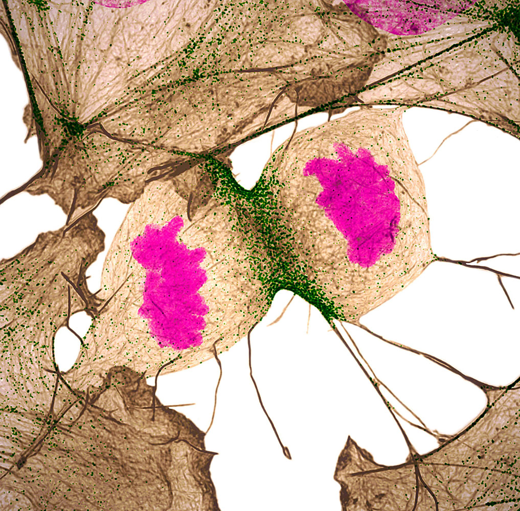 Человеческий фибробласт подвергается клеточному делению, показывая актин (серый), миозин II (зеленый) и ДНК (пурпурный), © Нилай Танежа, доктор © Дилан Бернетт, Университет Вандербильта, факультет биологии клеток и развития, Нэшвилл, Теннесси, США, 11 место, Фотоконкурс Nikon Small World