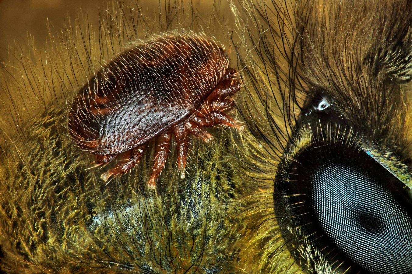 Varroa destructor (клещ) на спине Apis mellifera (пчелы), © Антуан Франк, CIRAD - сельскохозяйственные исследования в целях развития, Сен-Пьер, Реюньон, Франция, 15 место, Фотоконкурс Nikon Small World