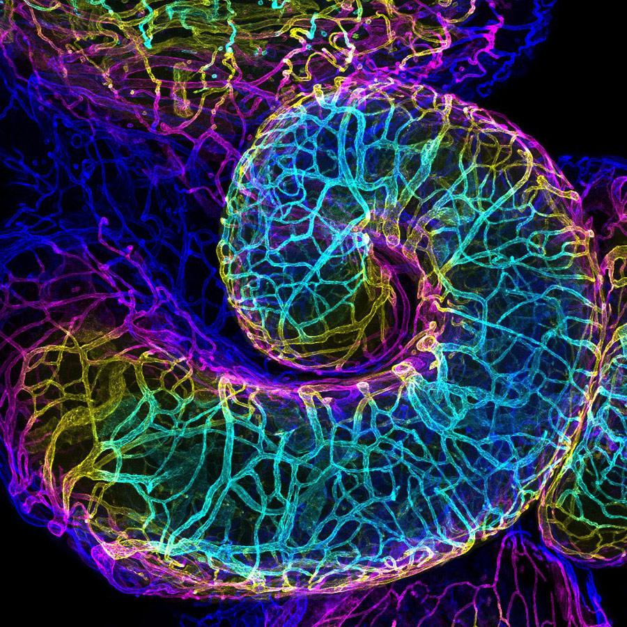 Сосудистая сеть яйцевода мыши, © Аманда Д. Филлипс Изагирре, Институт биологических исследований Солка, Ла Джолла, Калифорния, США, 16 место, Фотоконкурс Nikon Small World