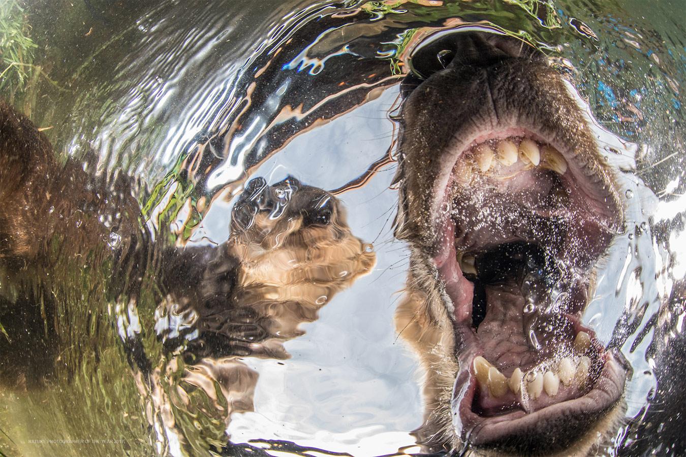 Медвежата, © Майк Коростелев, Победитель категории «Млекопитающие», Абсолютный победитель конкурса, Фотоконкурс «Природный фотограф года»