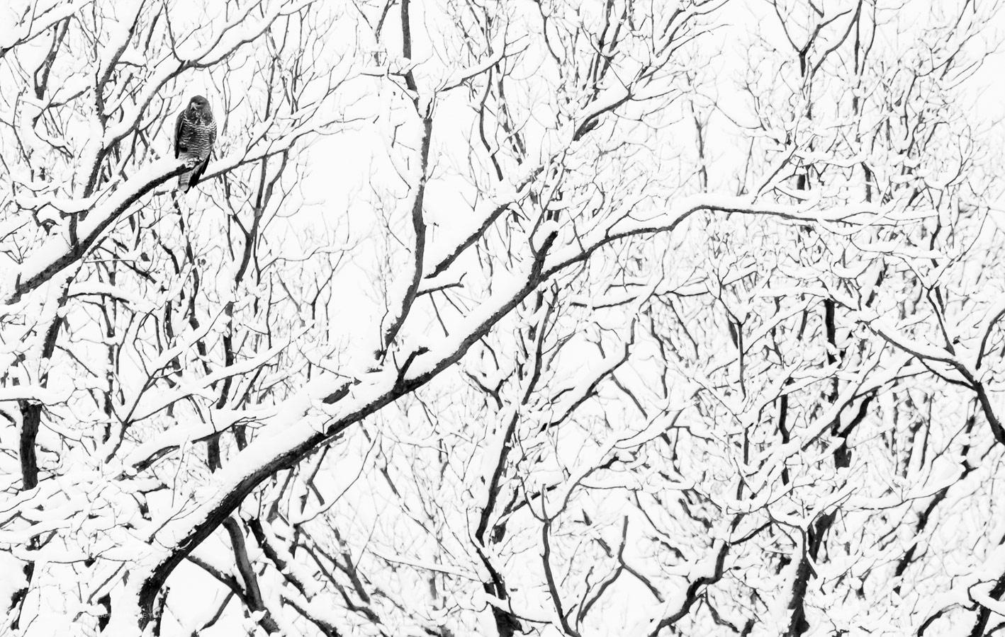 Ястреб, © Рик Ван дер Краатс, Победитель категории «Молодой фотограф 10–17 лет», Фотоконкурс «Природный фотограф года»