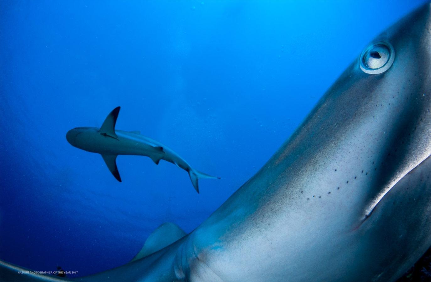 Рифовые акулы, © Шейн Гросс, Победитель категории «Подводная», Фотоконкурс «Природный фотограф года»