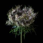 «Смертельная флора», © Молли Вуд / Molly Wood, Де-Мойн, США, Финалист категории «Вещи», Фотоконкурс «Одна жизнь» — One Life Awards
