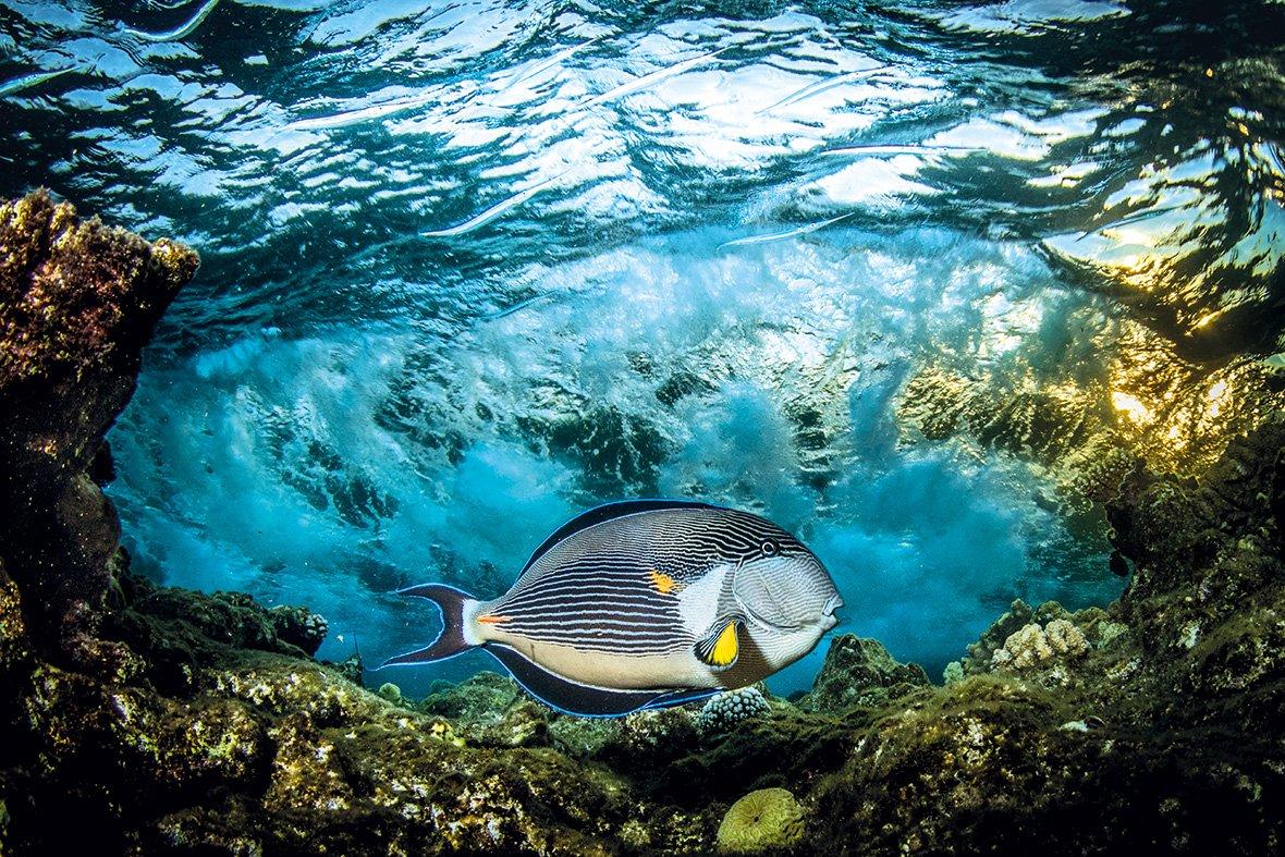 Sohal surgeonfish, Красное море, Египет, © Саид Рашид / Saeed Rashid, Великобритания, Победитель категории «Под водой», Фотоконкурс Outdoor Photographer of the Year