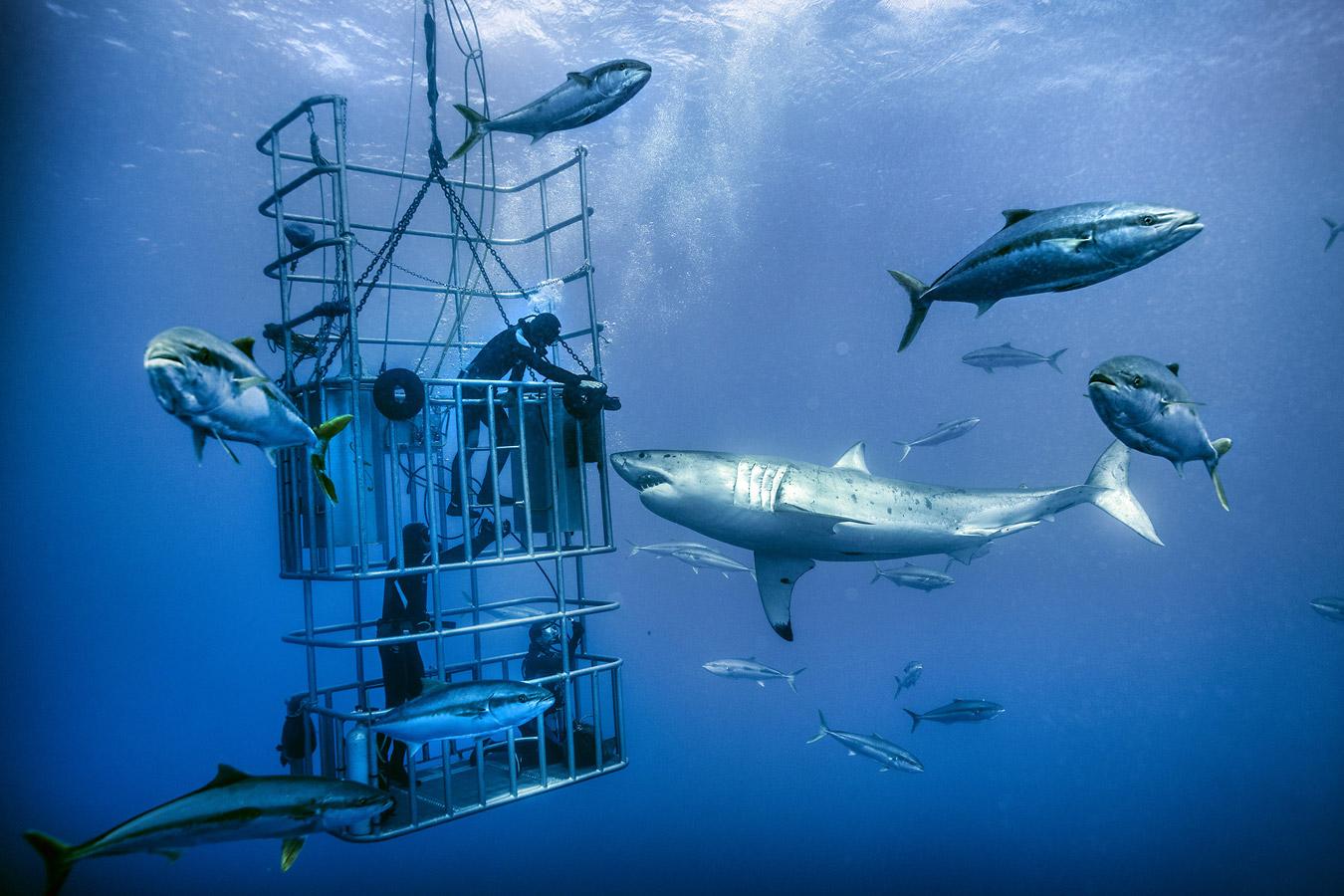 «Погружение к большой белой акуле, Гуадалупе», © Браун В. Кэннон III / Brown W. Cannon III, Бенд, США, Первое место в категории «Экшн / Приключения» – профессионал, Фотоконкурс «Адреналин» — Спортивная и экшн-фотография