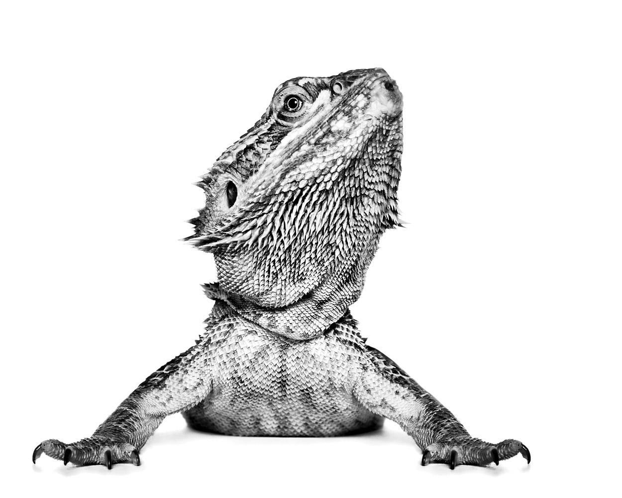 Рептилия, © Александра Сирнс, Северная Перт, Австралия, Профессионал: Портреты животных, Конкурс портретной фотографии «Лица»