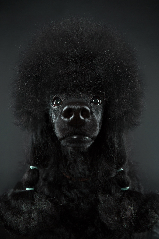 Выставка собак, © Александр Хохлов, Москва, Россия, Профессионал: Портреты животных, Конкурс портретной фотографии «Лица»