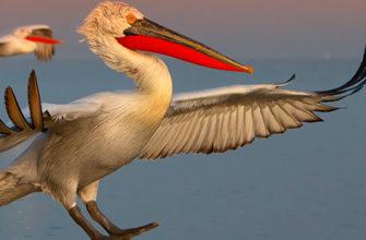 Продолжается прием фоторабот на первую в России научно-просветительную некоммерческую выставку, посвященную пеликанам.