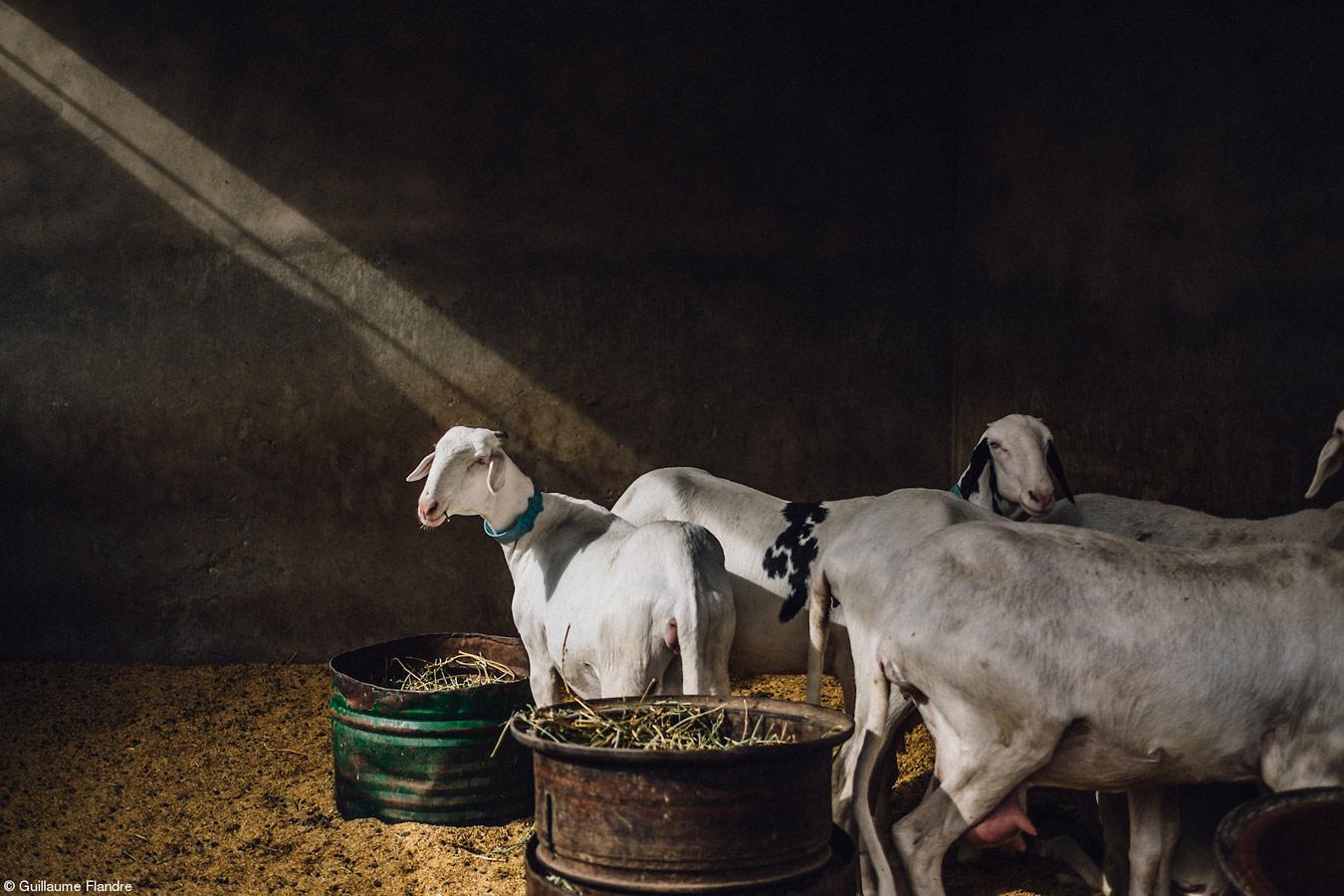Овцы в Дакаре, © Гийом Фландре, Великобритания, 1-е место, категория «Продукты в поле», Фотоконкурс Pink Lady Food