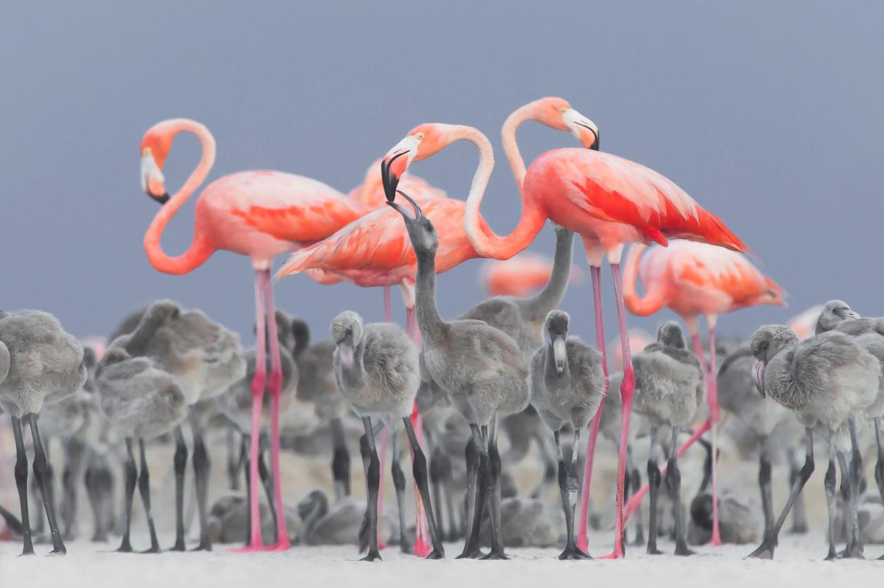 Кормление фламинго, © Алехандро Прието Рохас, Фотоконкурс «Птичий фотограф года»