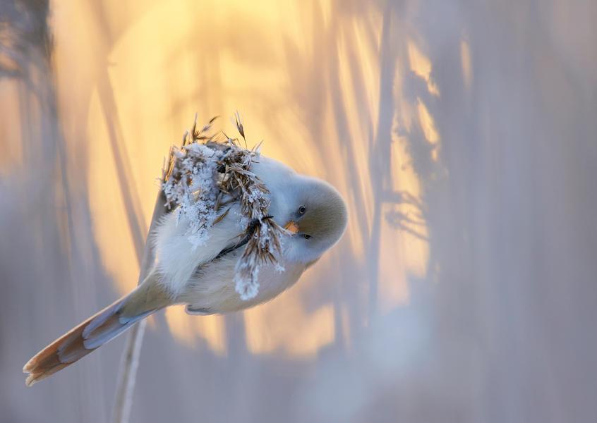 Усатая синица, © Маркус Варесвуо, Фотоконкурс «Птичий фотограф года»