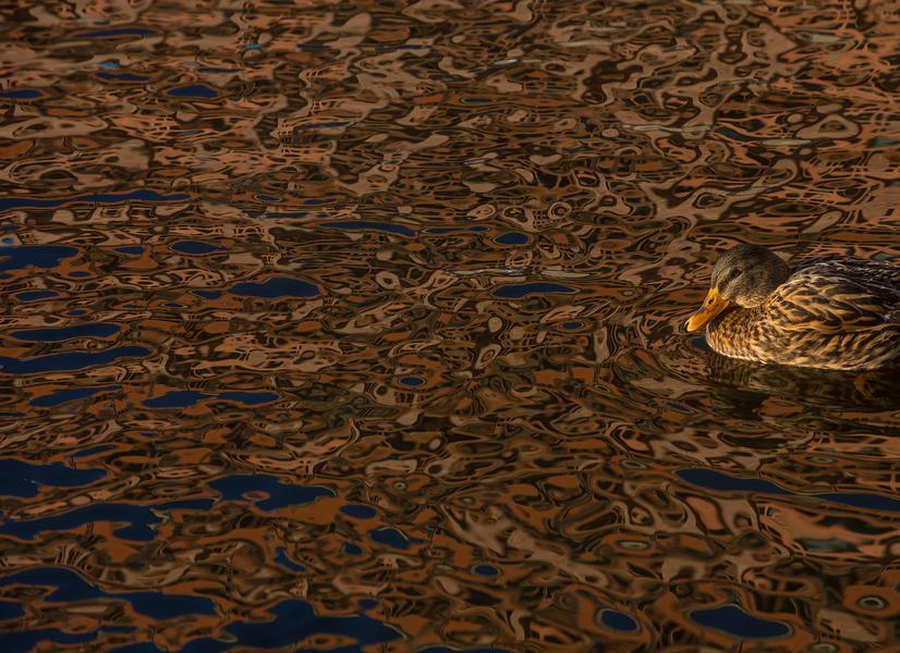Утка, © Даниэль Стенберг, Фотоконкурс «Птичий фотограф года»