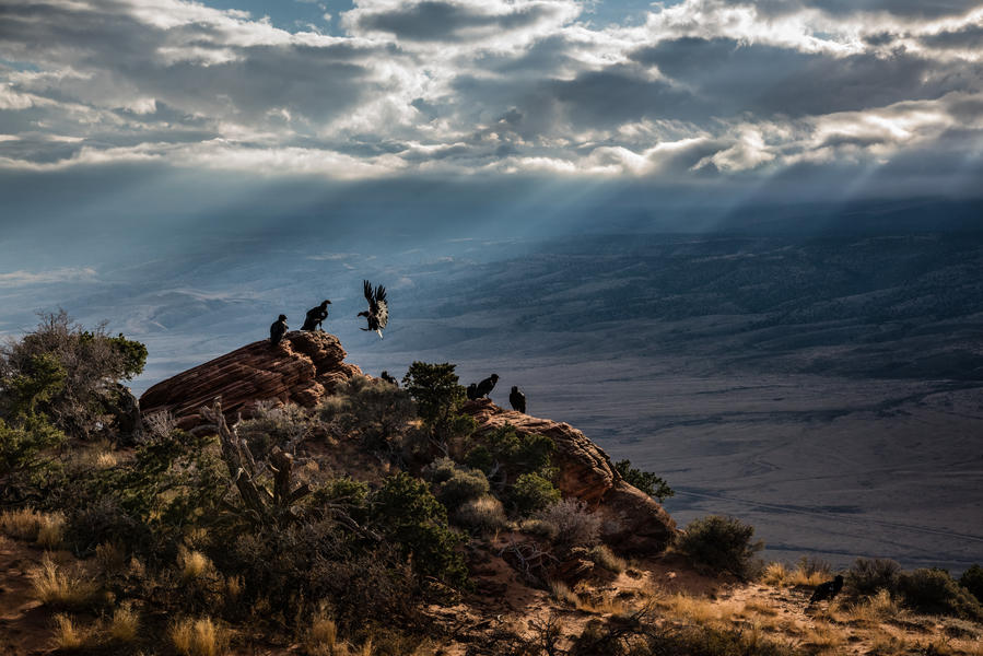 Кондор в лучах света, © Джон Шерман, Фотоконкурс «Птичий фотограф года»