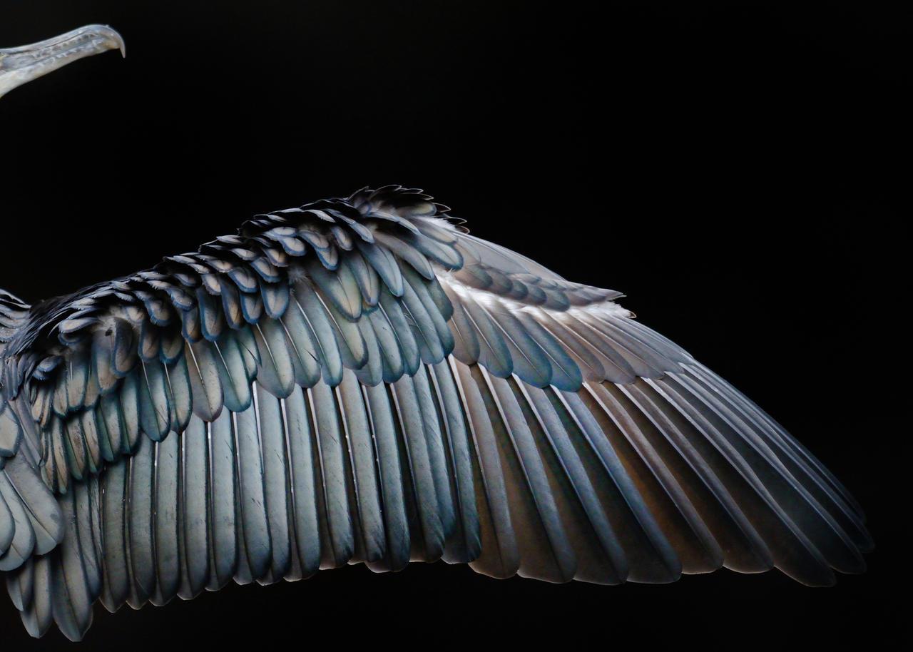 Крыло баклана, © Том Хайнс, Золото, Фотоконкурс «Птичий фотограф года»