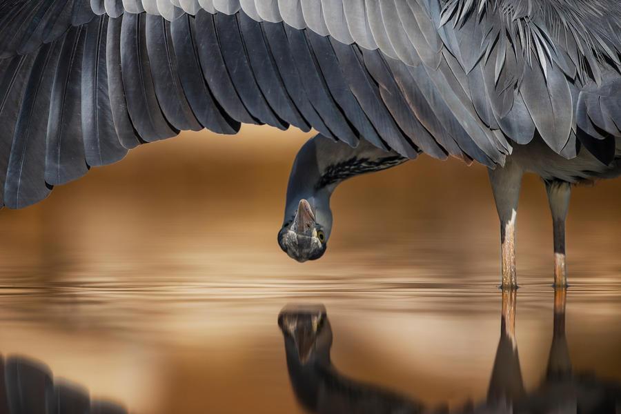 Серая цапля смотрит под крыло, © Ахмад Алесса, Серебро, Фотоконкурс «Птичий фотограф года»