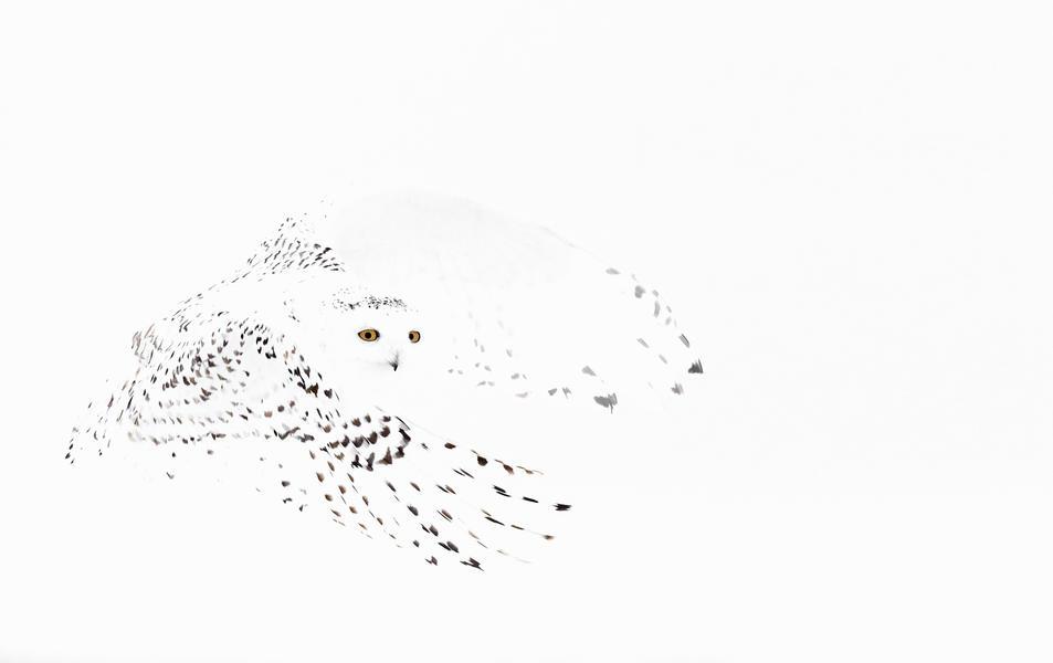 Снежная Сова, © Маркус Варесвуо, Фотоконкурс «Птичий фотограф года»