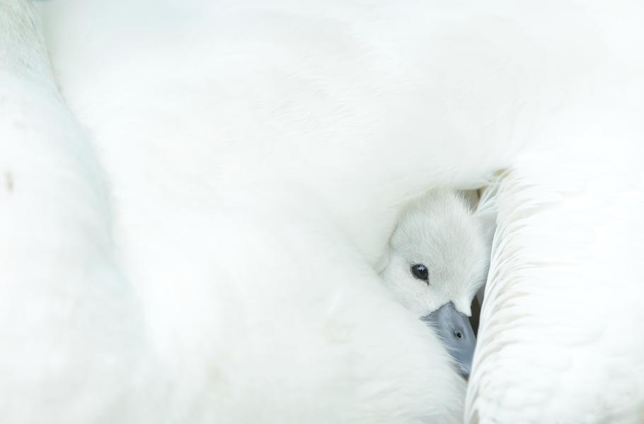 Приют молодого лебедя, © Бен Эндрю, Фотоконкурс «Птичий фотограф года»