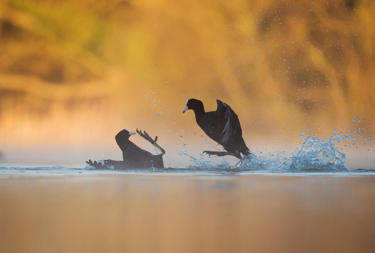 Боевые лысухи, © Энди Паркинсон, Золото, Фотоконкурс «Птичий фотограф года»