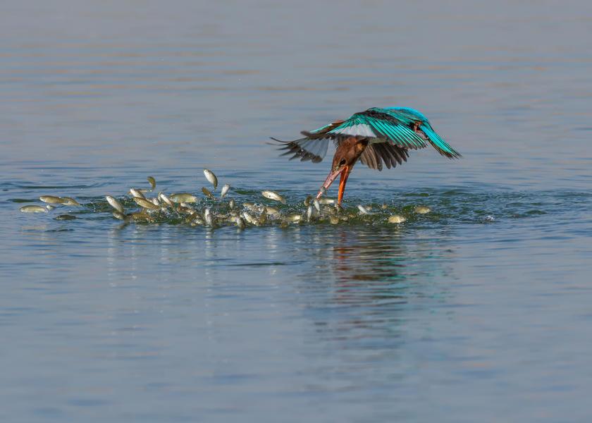 Пикирование зимородка, © Малек Альхаззаа, Серебро, Фотоконкурс «Птичий фотограф года»