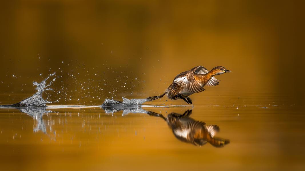 Взлетающая малая поганка, © Фейсал Алномомас, Фотоконкурс «Птичий фотограф года»