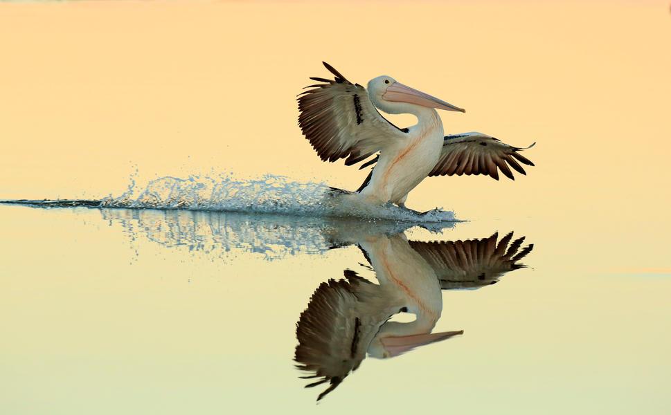 Австралийский пеликан садится на воду, © Брет Шарман, Золото, Фотоконкурс «Птичий фотограф года»