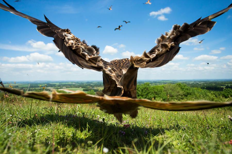 Красный коршун крупным планом, © Джейми Холл, Серебро, Фотоконкурс «Птичий фотограф года»