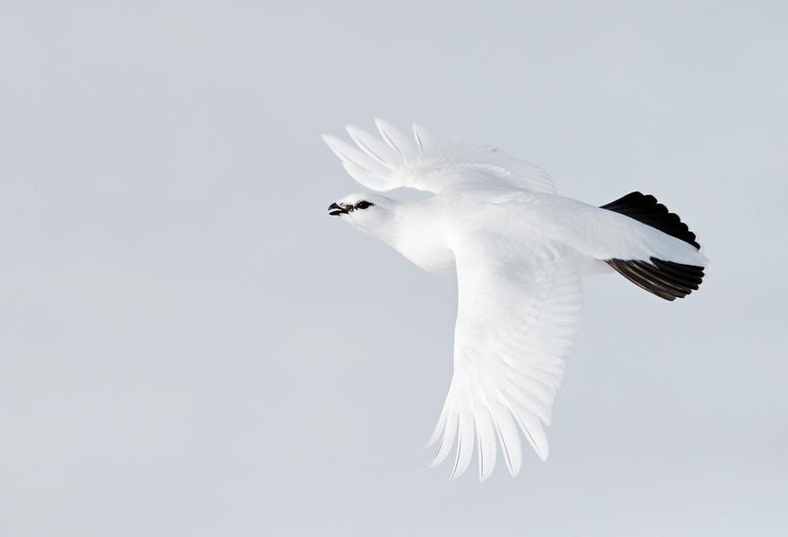 Белая куропатка, © Маркус Варесвуо, Бронза, Фотоконкурс «Птичий фотограф года»