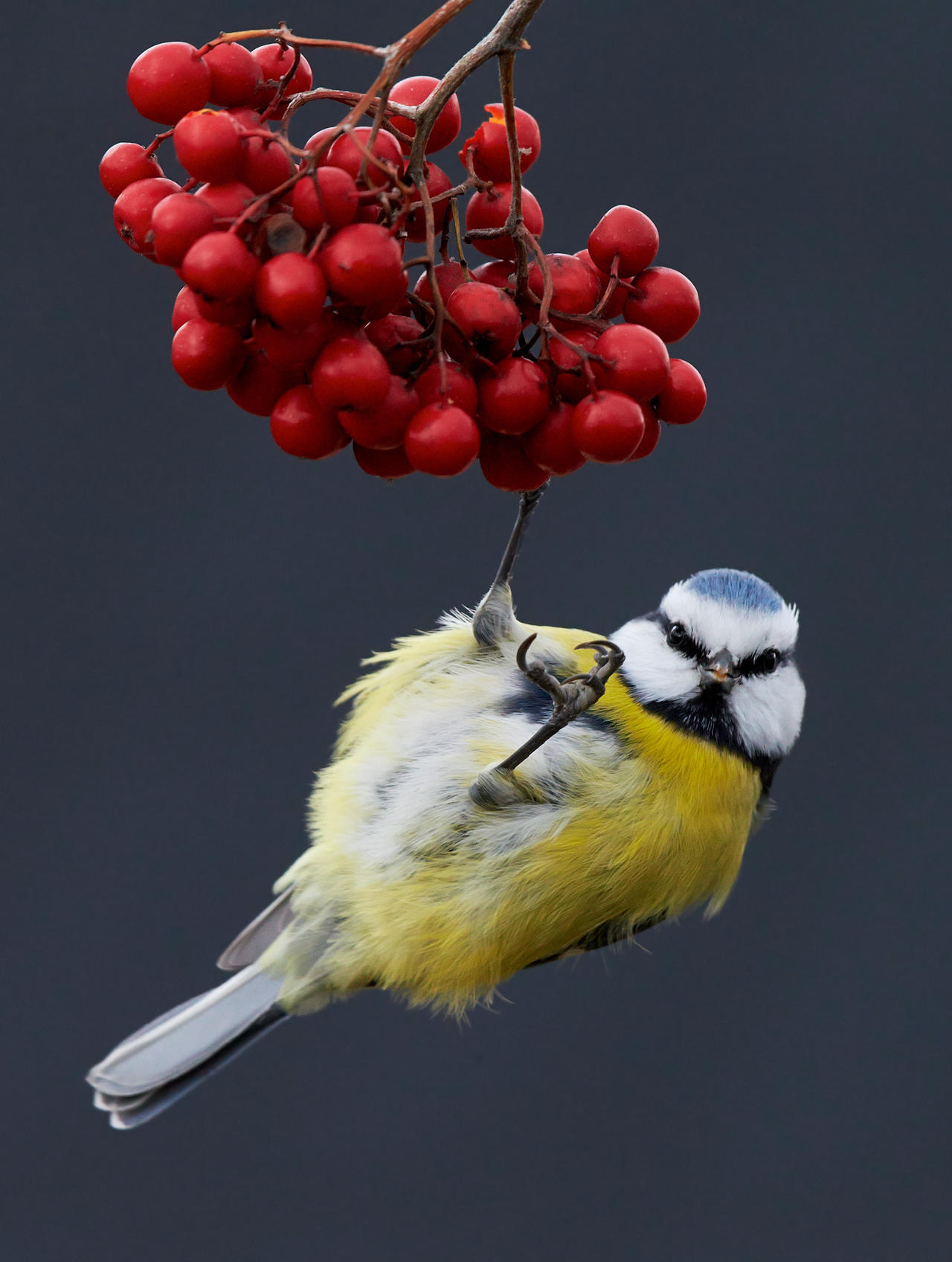 Синяя синица на ягодах, © Маркус Варесвуо, Фотоконкурс «Птичий фотограф года»