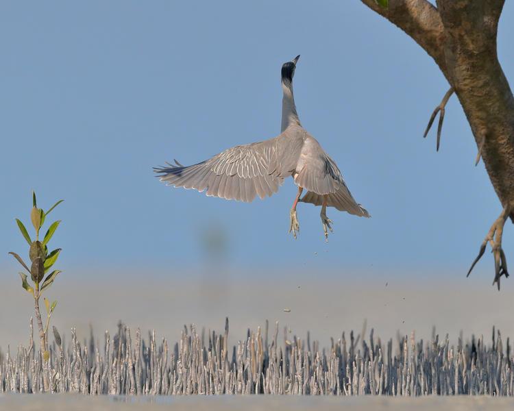 Прыгающая цапля, © Джорджина Стейтлер, Фотоконкурс «Птичий фотограф года»