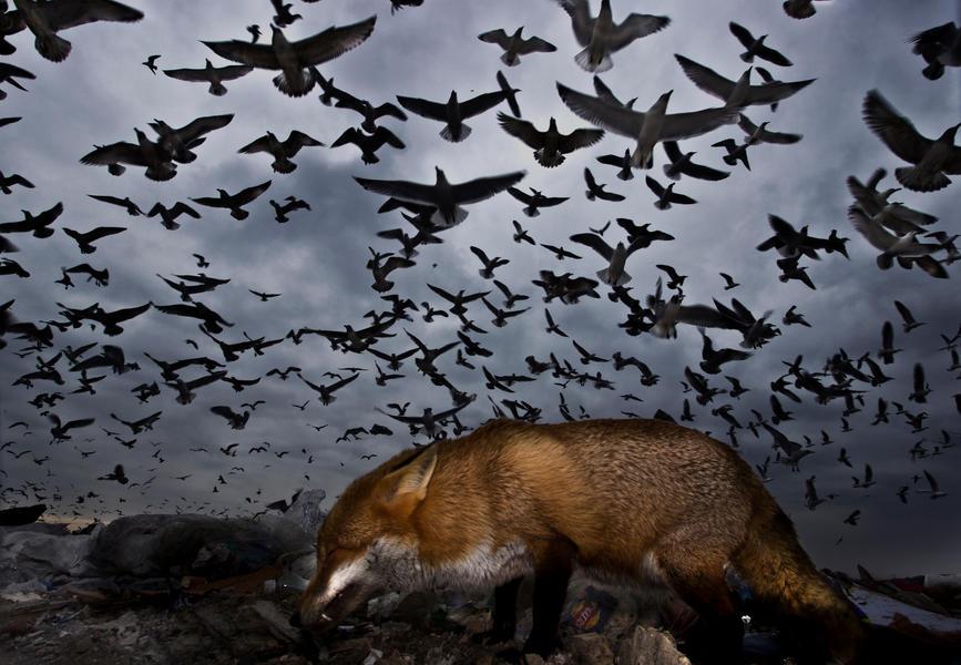 Чайки и лиса, © Габор Капус, Фотоконкурс «Птичий фотограф года»