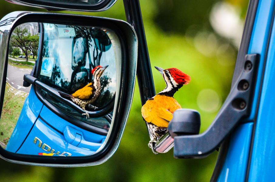 Дятел в зеркале автомобиля, © Келвин Дао, Фотоконкурс «Птичий фотограф года»