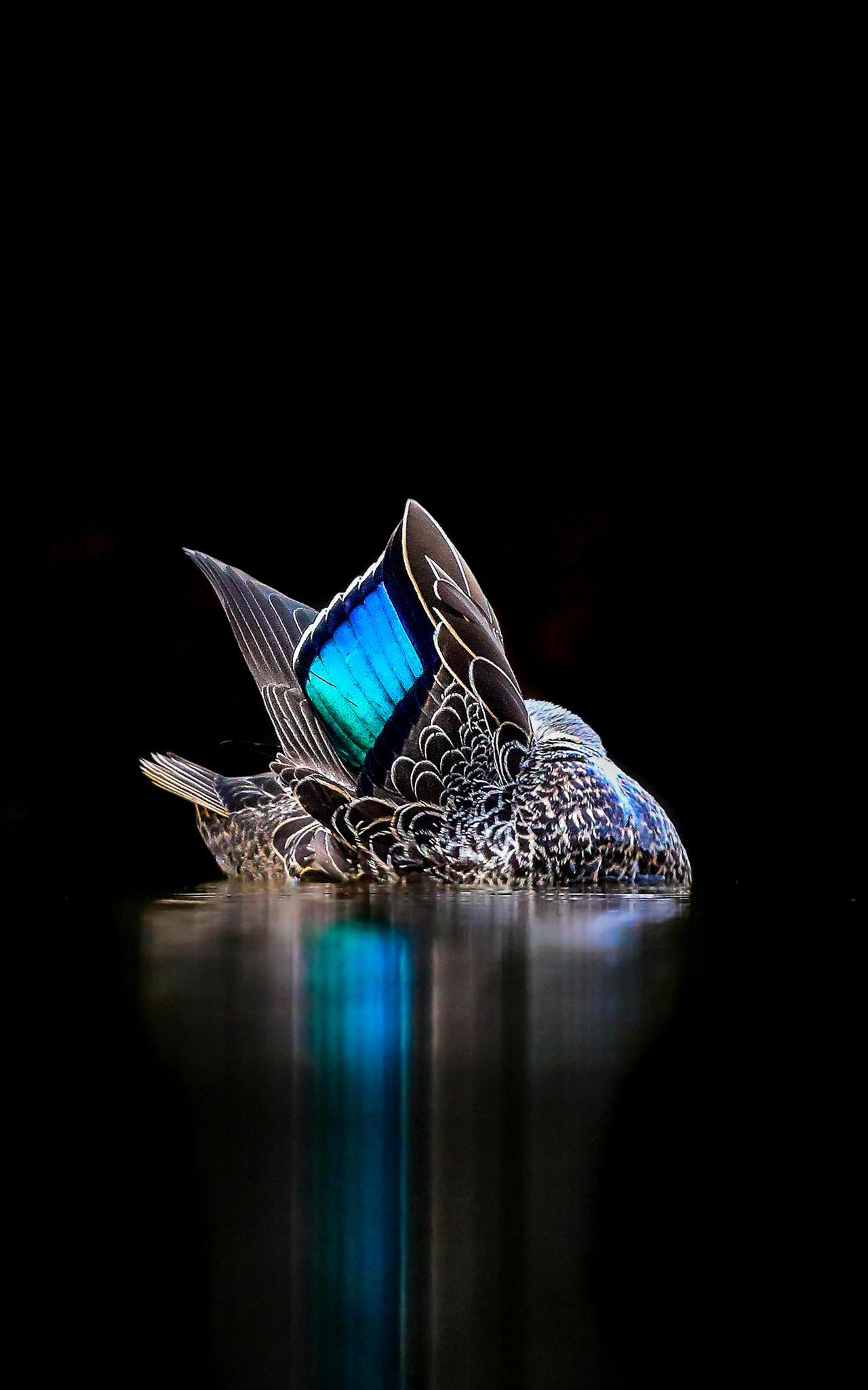 Отражение, © Джорджина Стейтлер, Золото, Фотоконкурс «Птичий фотограф года»