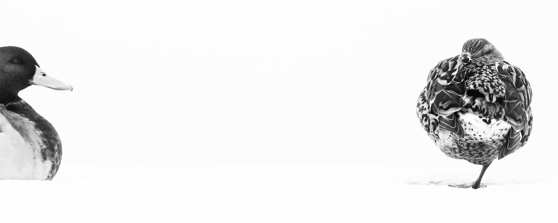 Самец и самка крыквы, © Франческо де Джузеппе, Серебро, Фотоконкурс «Птичий фотограф года»