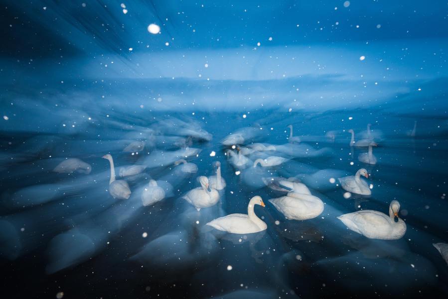 Лебеди-кликуны в снегу, © Вим ван ден Хивер, Бронза, Фотоконкурс «Птичий фотограф года»