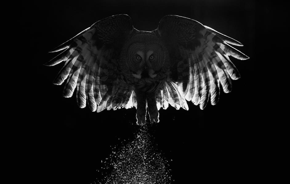 Большая серая сова, © Маркус Варесвуо, Фотоконкурс «Птичий фотограф года»