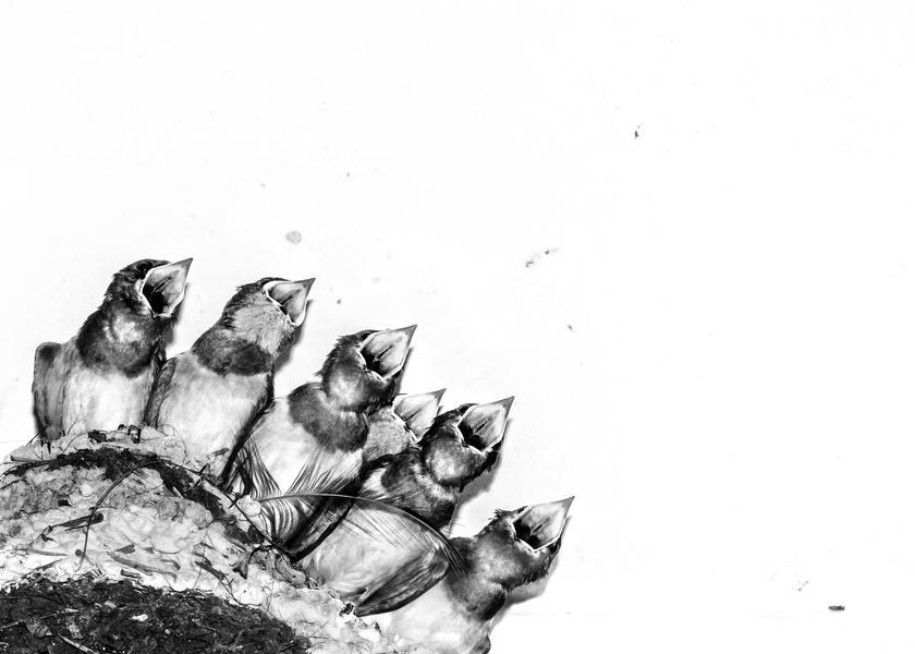 Птенцы ласточки в гнезде, © Джозеф Энтони, Фотоконкурс «Птичий фотограф года»