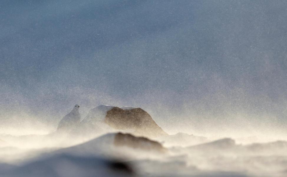 Белая куропатка в бурю, © Маркус Варесвуо, Фотоконкурс «Птичий фотограф года»