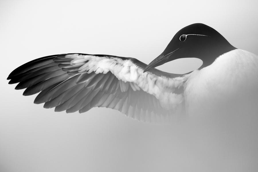 Кайра, растягивающая крыло, © Марк Вебер, Серебро, Фотоконкурс «Птичий фотограф года»