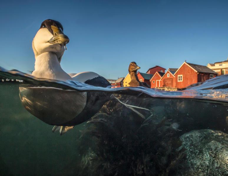 Плавание Гаги, © Пал Хермансен, Бронза, Фотоконкурс «Птичий фотограф года»