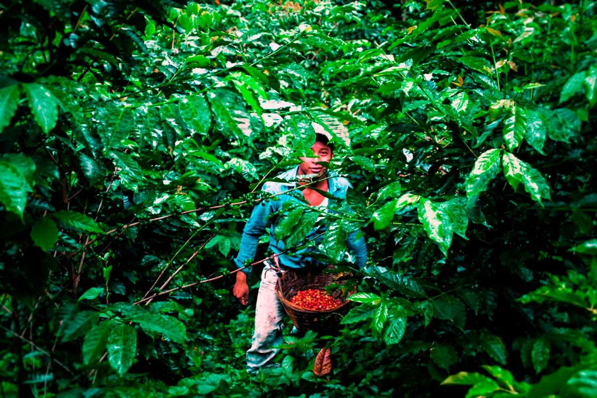 «Для выращивания кофе нужны молодые люди» Яира Мерлина