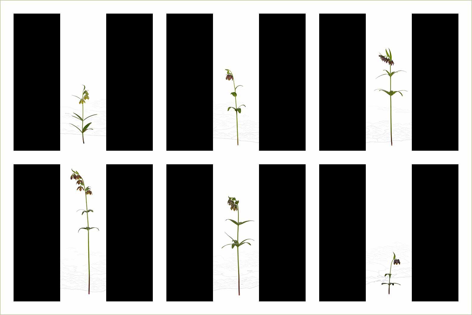 Видовые черты: рябчик родственный, Лоуренс Хилл, Золотая медаль категории «Портфолио», Фотоконкурс RHS Photographic