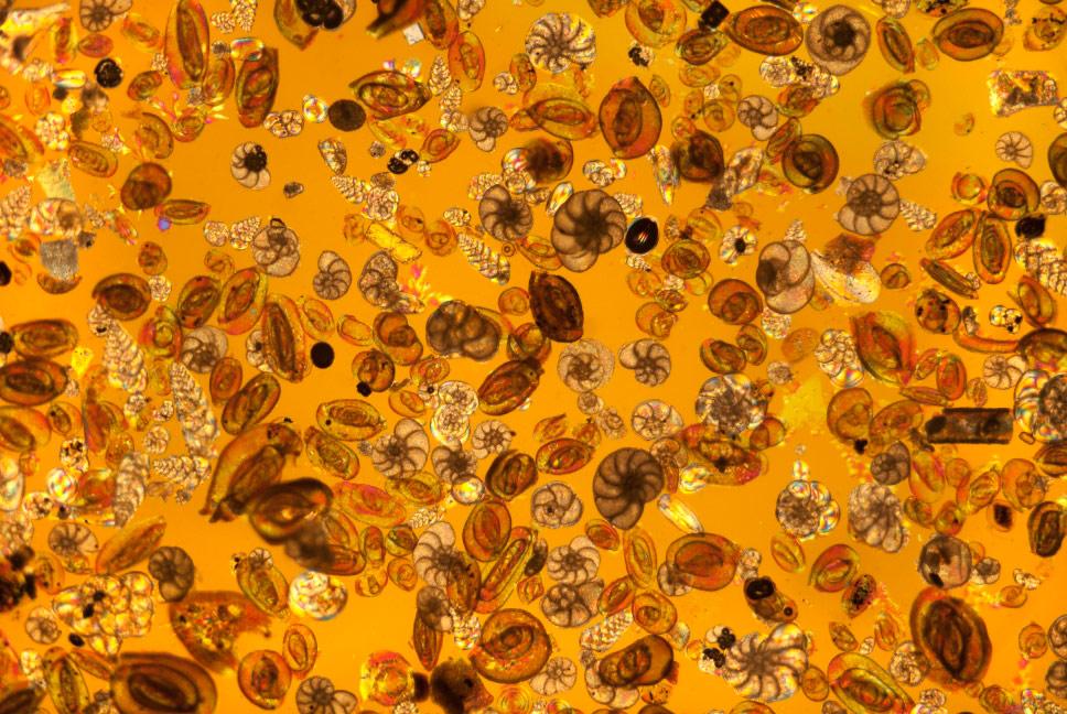 © Стив Лоури, Оболочки фораминифер, Фотоконкурс Королевского общества биологии — Royal Society of Biology